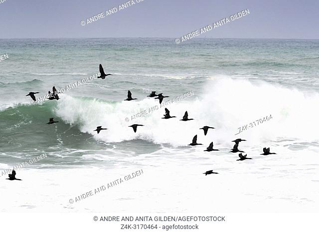 Cape Cormorant (Phalacrocorax capensis) group flying over rough sea, Cape of good hope, Cape penninsula, South Africa