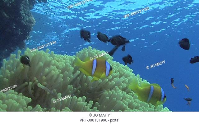Red sea anemone fish Amphiprion bicinctus darting about, Gail watches, Red sea, Egypt