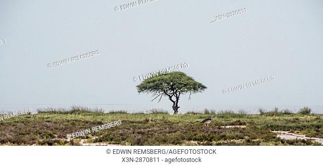 A lone umbrella thorn acacia tree in the grasslands of Etosha National Park, located in Namibia, Africa