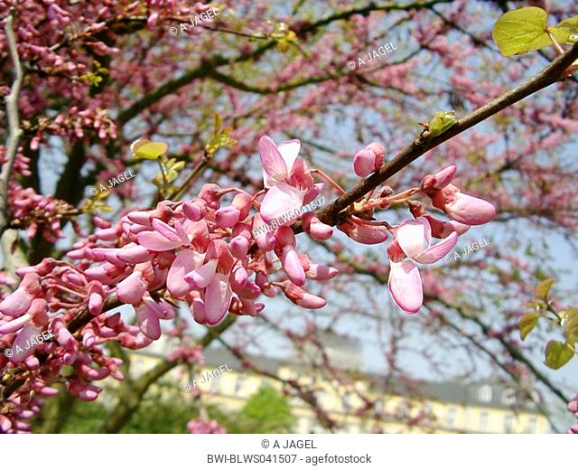judas tree Cercis siliquastrum, blooming