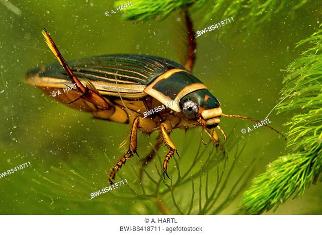 Great diving beetle (Dytiscus marginalis), swimming female, Germany