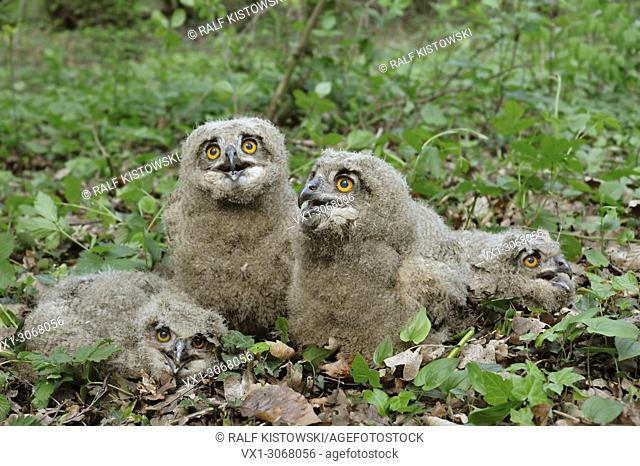 Northern Eagle Owl ( Bubo bubo ), young chicks, fledgelings, sitting on the ground, watching, cute animal kids, wildlife, Europe