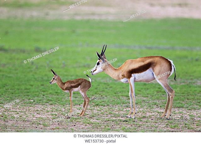 Springbok (Antidorcas marsupialis). Ewe with newly born lamb. During the rainy season in green surroundings. Kalahari Desert, Kgalagadi Transfrontier Park