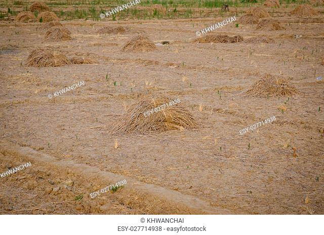 Pile of dry hay on the Southeast Asia farm