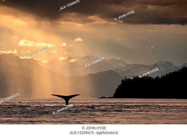 Humpback whale (Megaptera novaeangliae) lifts its flukes as it feeds in Lynn Canal at sunset, Southeast Alaska; Alaska, United States of America