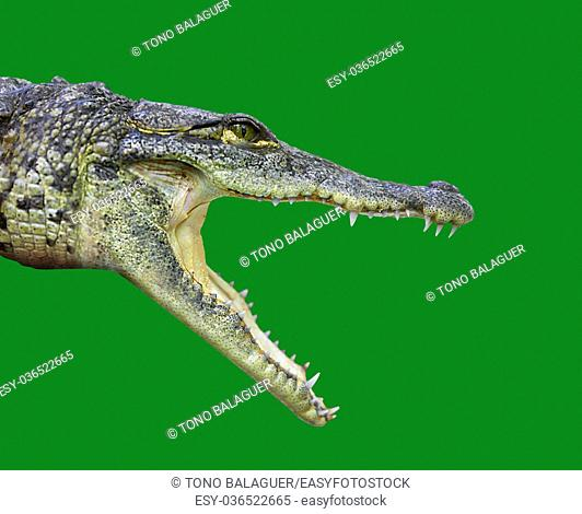 Crocodile young provile view from Mexico open mouth on green background