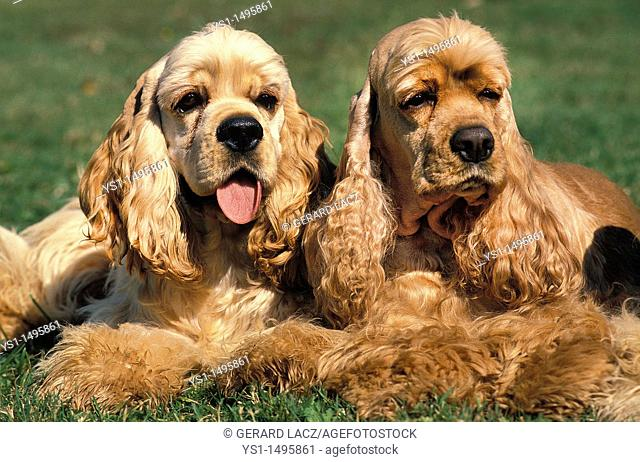 American Cocker Spaniel, Adults laying on Grass