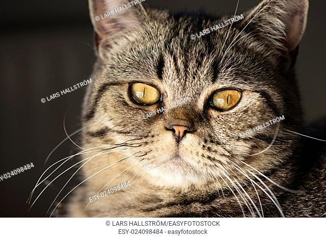 Close -up of cat face. British Shorthair