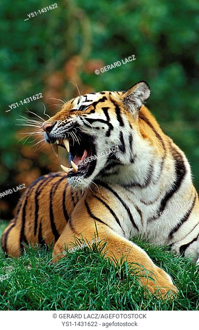 SIBERIAN TIGER panthera tigris altaica, ADULT SNARLING IN THREAT POSTURE
