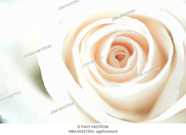 abstract,anniversary,beautiful,beauty,bloom,blossom,blur,bokeh,botany,curve,detail,dreamy,elegance,elegant,floral,florist,flower,fragile,fresh,love,luxury,macro