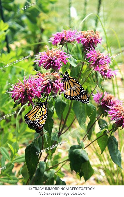 Close up of two Monarch butterflies resting on Bee Balm flowers in a garden in Trevor, Wisconsin, USA