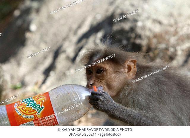 monkey holding cold drink bottle thekkady, kerala, India, Asia