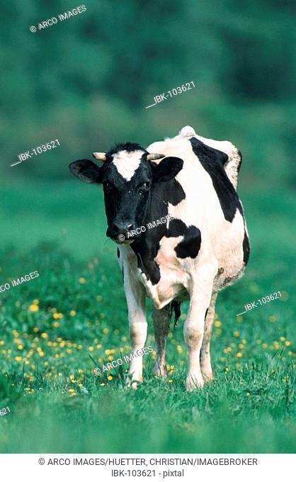 Cow on pasture, North Rhine-Westphalia, Germany
