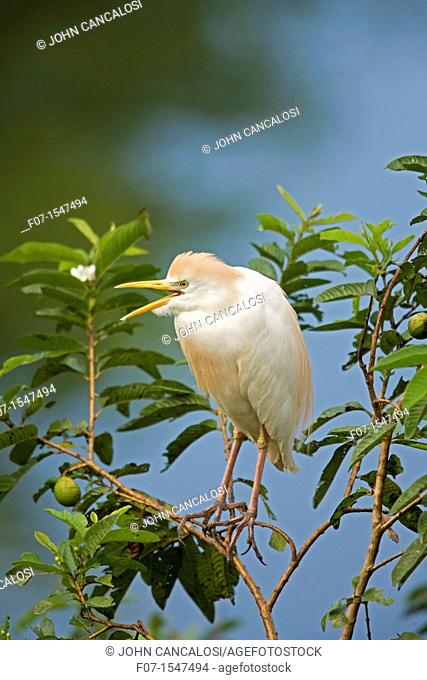 Cattle Egret Bubulcus ibis.Costa Rica. At nesting colony, tropical rainforest