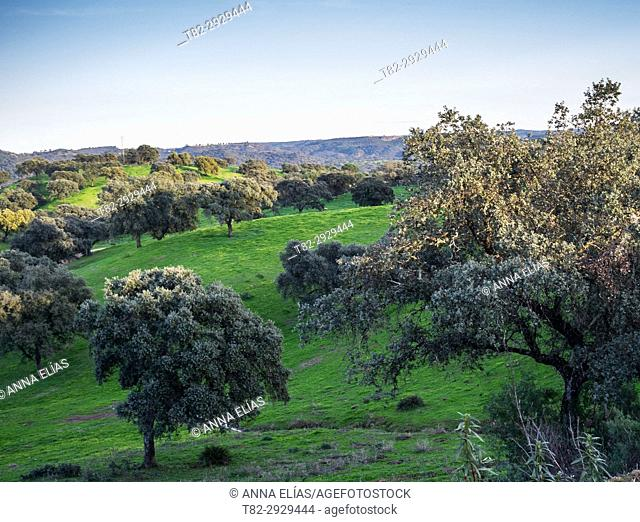 Dehesa of oaks and cork oaks in Seville province, Andalusia, Spain
