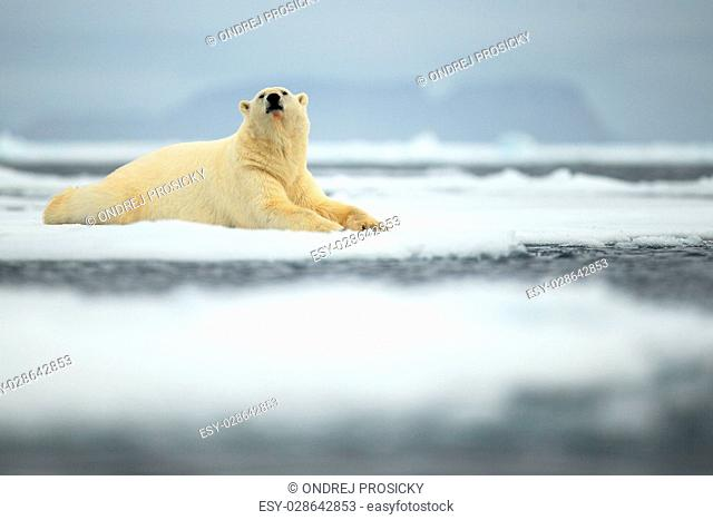 Lying polar bear on drift ice arctic Svalbard