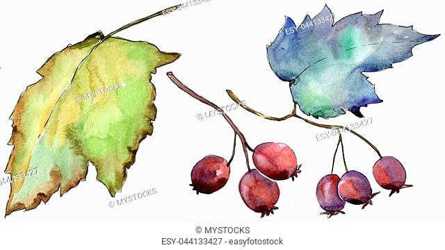 Berry of hawthorn leaves in a watercolor style isolated. Aquarelle berry for background, texture, wrapper pattern, frame or border