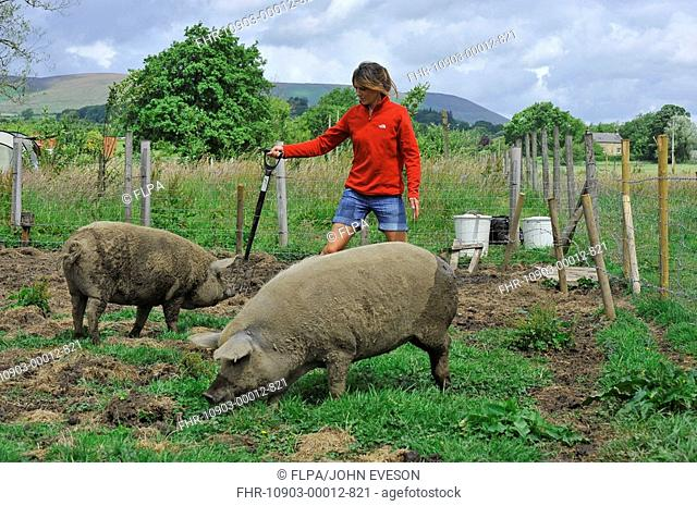 Domestic Pig, Mangalitza gilts, being moved in paddock by owner, England, july