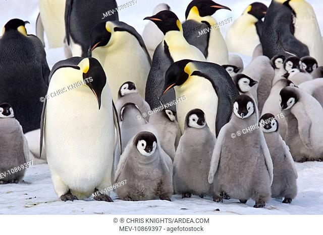 Emperor Penguin - With a large group of chicks (Aptenodytes forsteri). Snow Hill Island - Antarctica - October