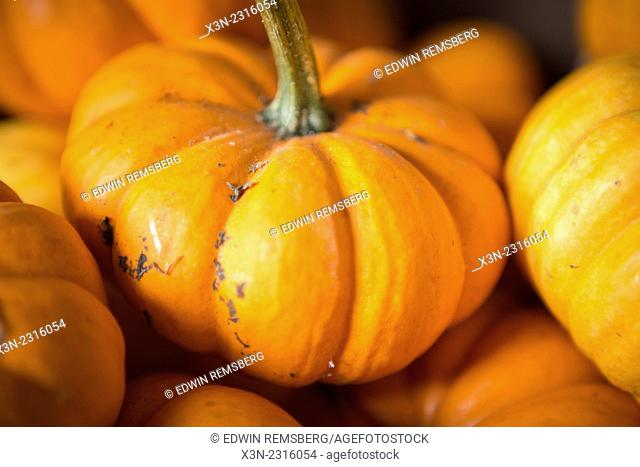 Close-up of a small pumpkin in Fallston, Maryland, USA