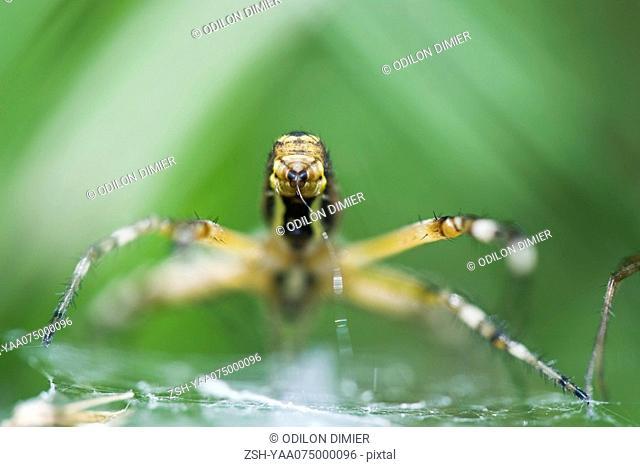 Yellow Garden Spider argiope aurantia spinning web, focus on spinneret