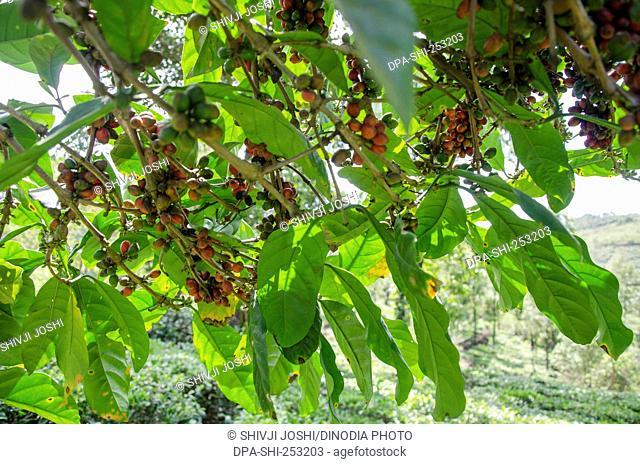 Coffee tree, vagamon, kerala, india, asia