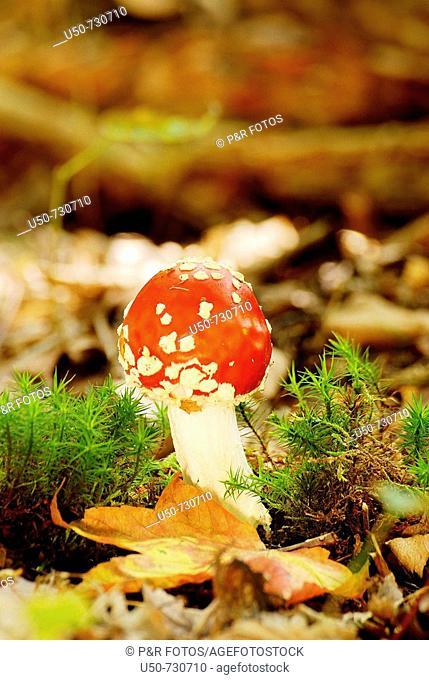Amanita muscaria, Fly Agaric