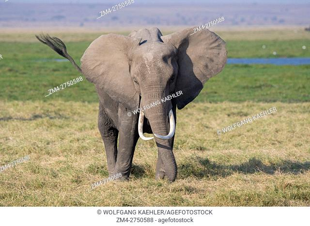 An African elephant (Loxodonta africana) in Amboseli National Park in Kenya