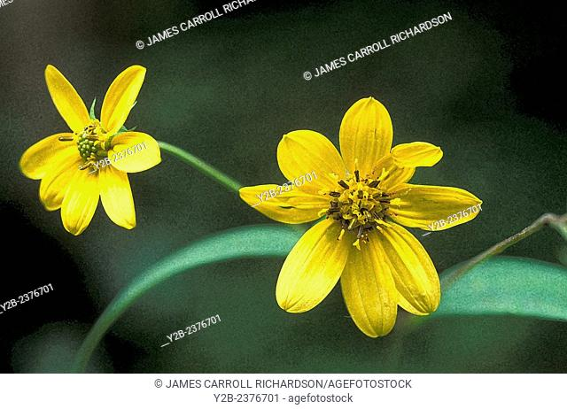 Coreopsis major wildflower common to southern usa