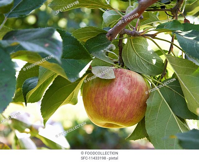 An apple on a tree (close-up)