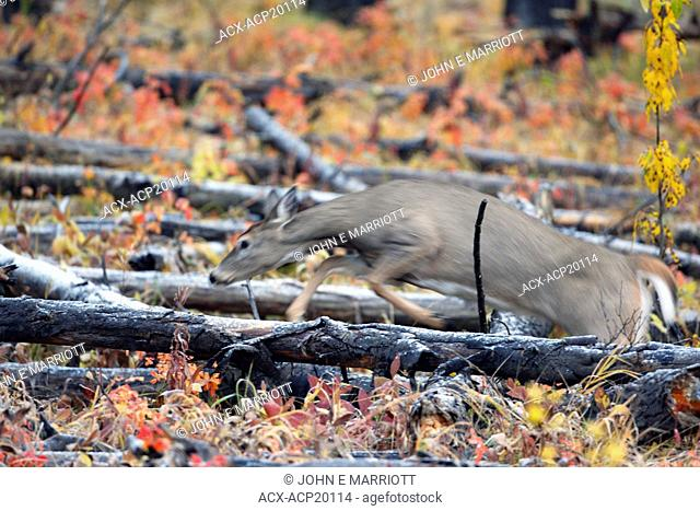 White-tailed deer Odocoileus virginianus jumping over a fallen log in fall colors, Canada
