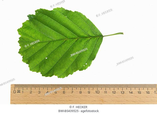 common alder, black alder, European alder (Alnus glutinosa), leaf, upper side, cutout, with ruler