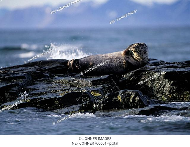 A harbor seal, by the sea, Svalbard, Norway