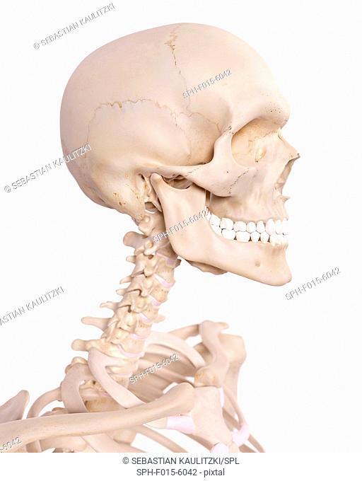 Human skull and cervical spine, illustration