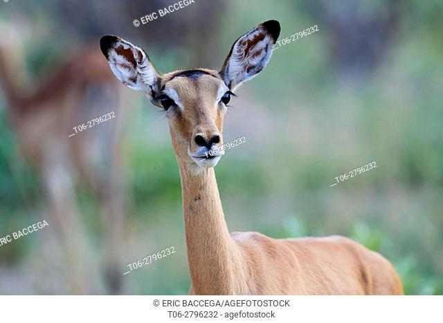 Impala female (Aepyceros melampus) in alert. Hwange National Park, Zimbabwe