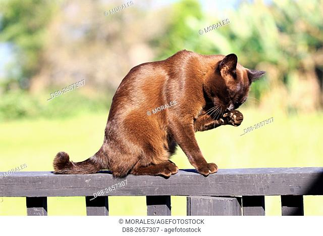 Myanmar, Shan State, Inle lake, Nga Phe Kyaung Village, Inthar heritage house, Burmese cat in a house dedicated to this species