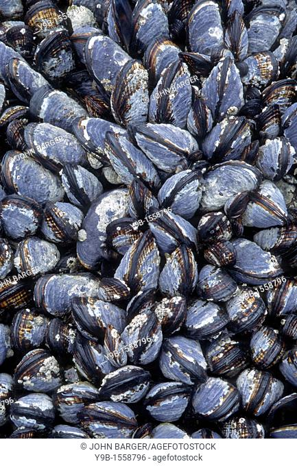 CALIFORNIA MUSSEL Mytilus californica dense bed exposed at low tide, Olympic National Park, Washington, USA