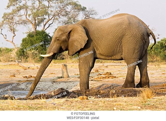 Africa, Botswana, Chobe National Park, drinking Elefant
