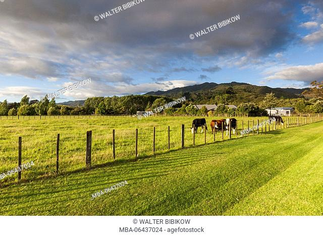 New Zealand, North Island, Coromandel Peninsula, Coromandel Town, cattle in pasture