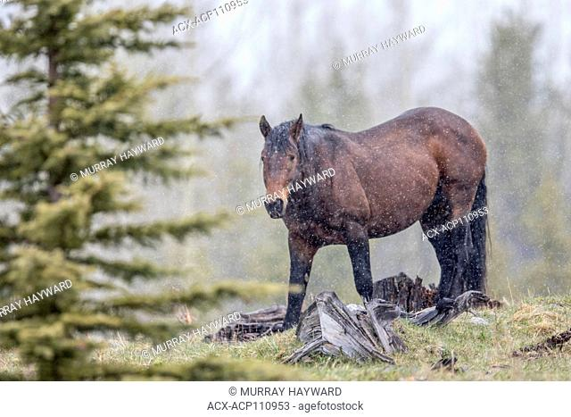 Wild Horse, Feral (Equus caballus) Beautiful, rugged wild horse, in the Alberta Foothills, its natural habitat, during snow showers