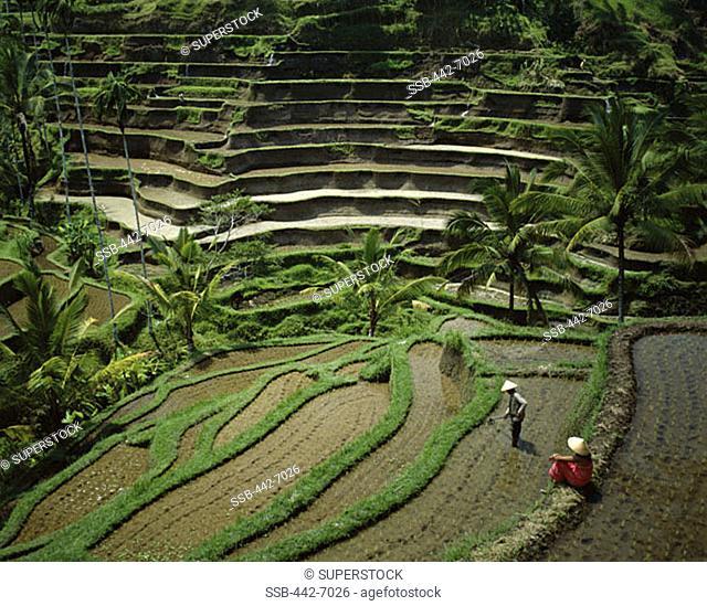 Rice Terraces, Ubud, Bali, Indonesia