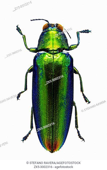 Malaysian Jewel Beetle in resin - Bali