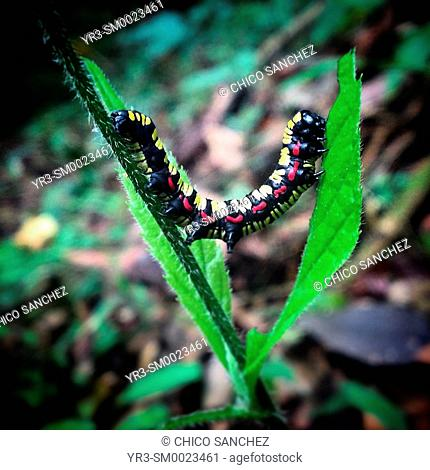 A colored caterpillar perches on a green plant in the Reserve of the Biosphere El Triunfo, Chiapas, Mexico