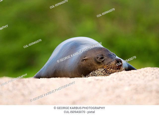 Sealion, resting, Galapagos islands, Ecuador