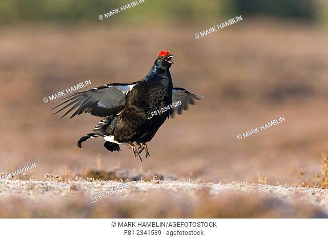 Black Grouse (Tetrao tetrix) male displaying at lek on moorland