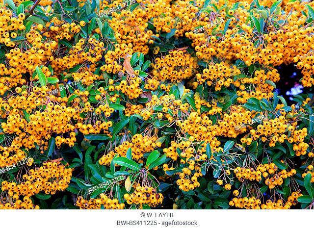 fire thorn, scarlet firethorn, burning bush (Pyracantha coccinea), fruiting
