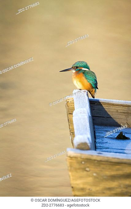 Common Kingfisher (Alcedo atthis) female perched on wooden boat. Lower Silesia. Poland