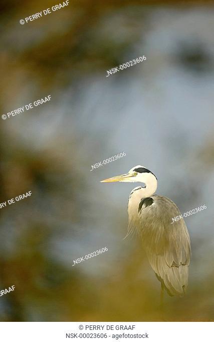 Grey Heron (Ardea cinerea) standing behind vegetation, South Africa, Mpumalanga, Kruger National Park