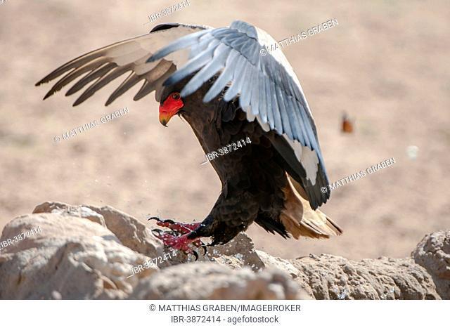 Bateleur (Terathopius ecaudatus), landing, Kgalagadi Transfrontier Park, North Cape, South Africa