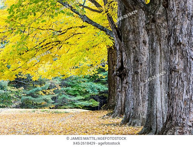 Fall color highlights stately maple trees in a new England cemetary